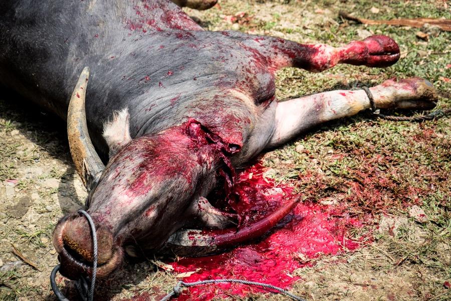 Toraja buffalo sacrifice