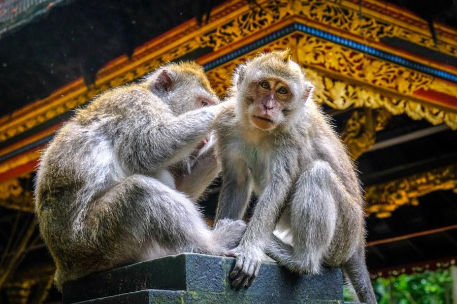 Sangeh monkeys