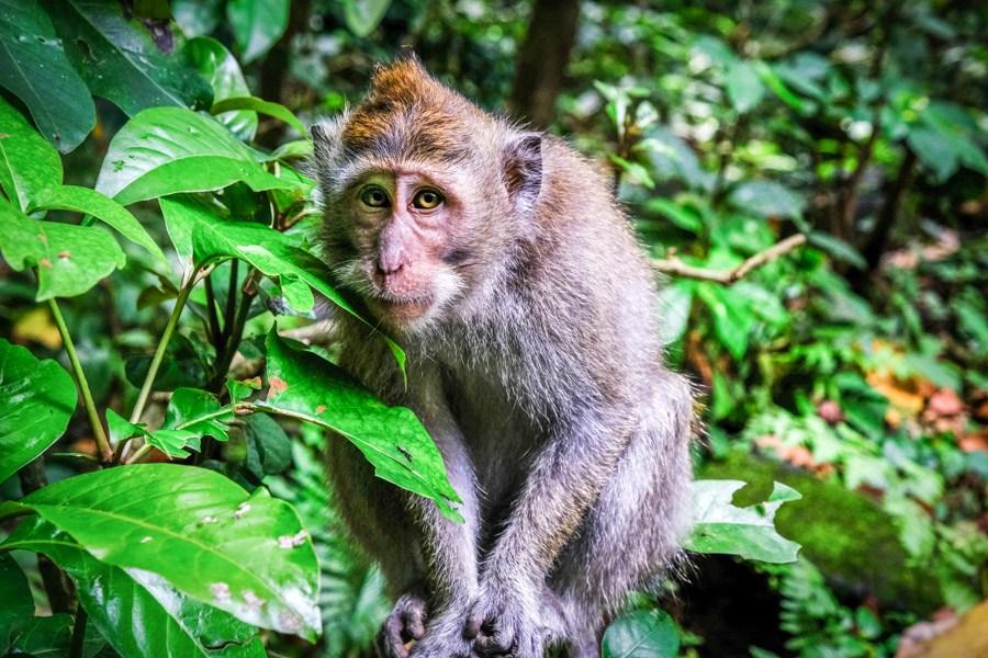 Bali monkey at Sangeh
