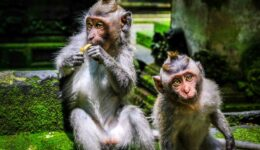 Bali monkeys at the Sangeh Monkey Forest near Ubud
