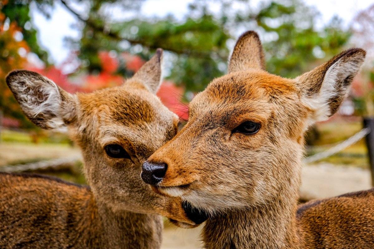 Nara Deer Park in Japan