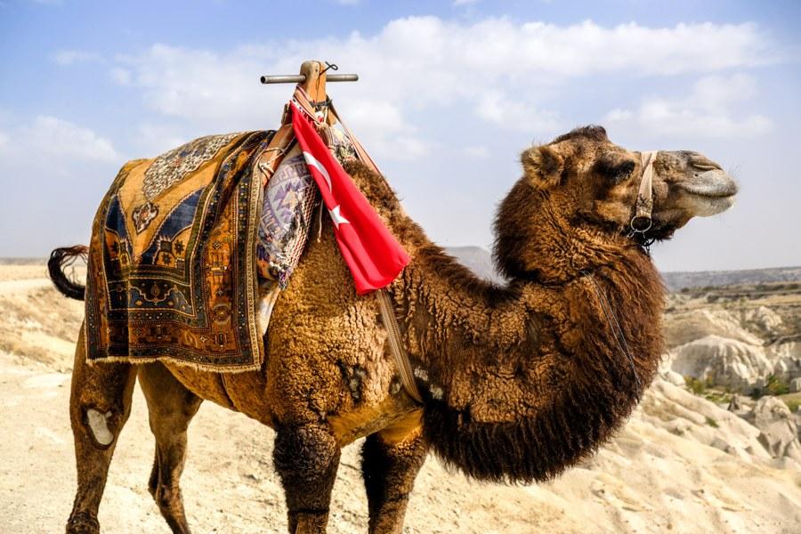 Turkish camel in Cappadocia