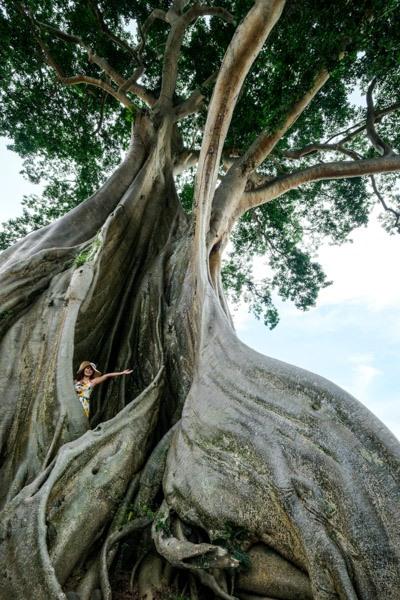 Giant Kapok tree in Bali