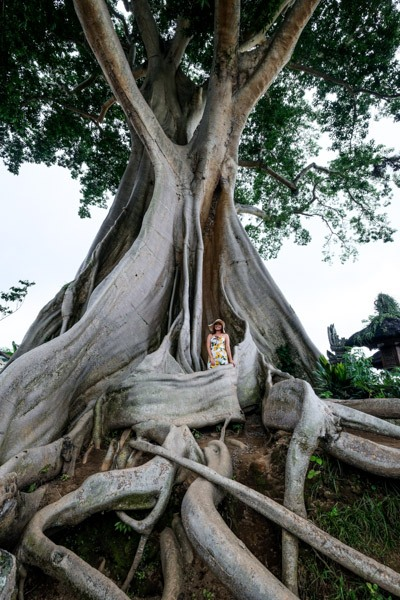 Kayu Putih Giant Kapok Tree In Bali