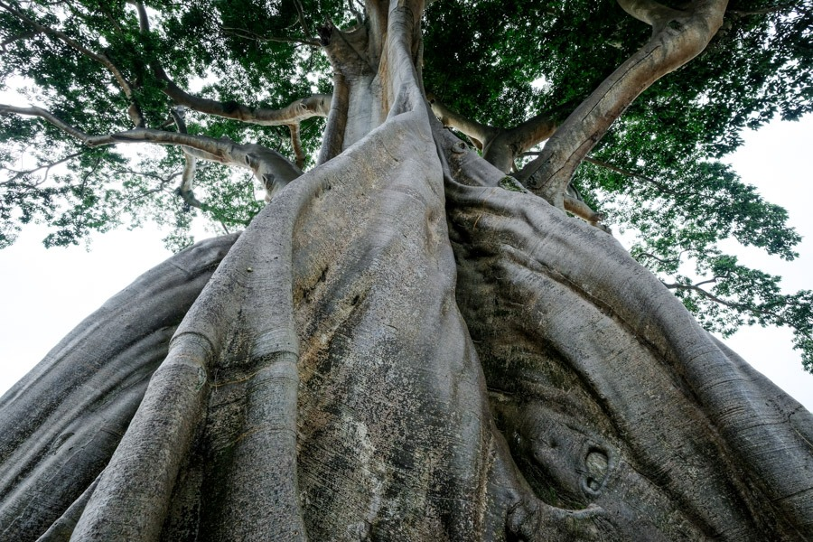 Giant tree trunk in Bali