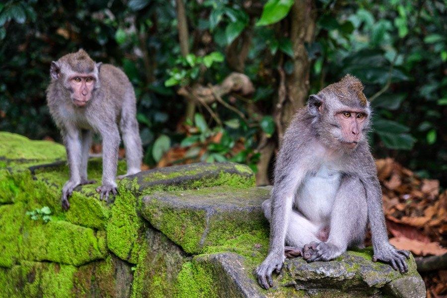 Bali monkeys at Sangeh