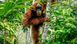 Sumatran Orangutan face at Bukit Lawang Indonesia