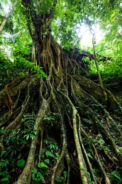 Banyan tree jungle at Colek Pamor