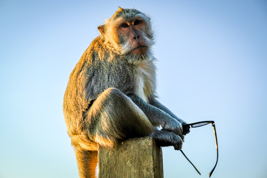 Uluwatu Monkey With Stolen Sunglasses in Bali