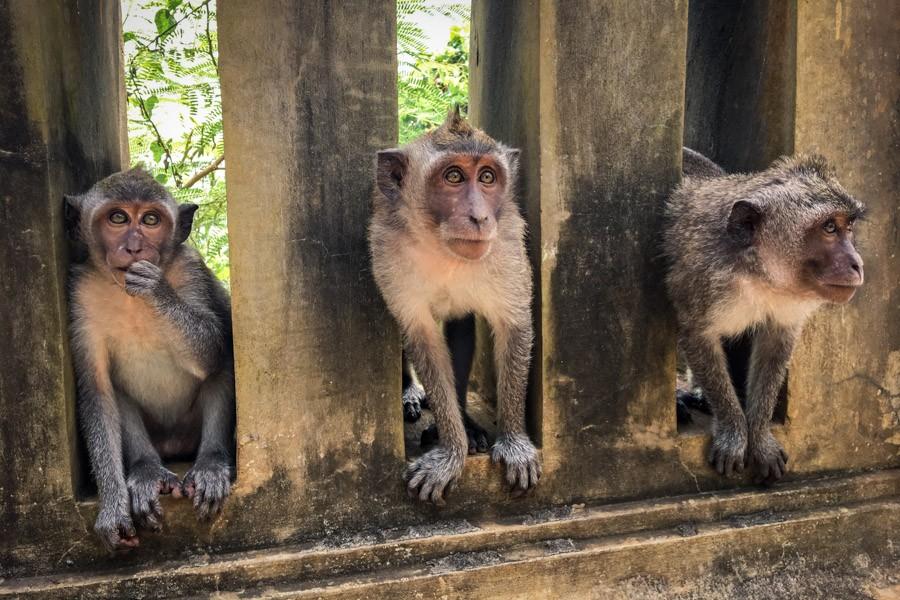 Uluwatu Monkey group in Bali