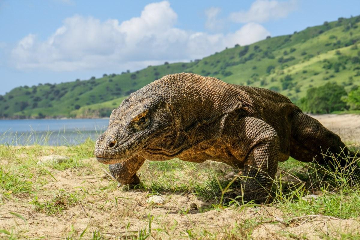 Komodo Island Dragon In Komodo National Park Indonesia