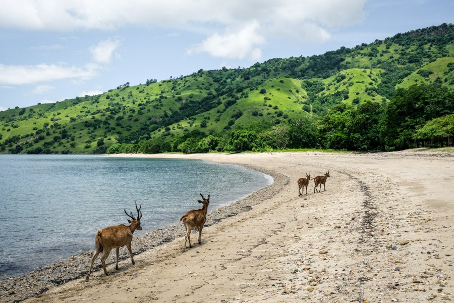 Javan Rusa Deer On A Beach