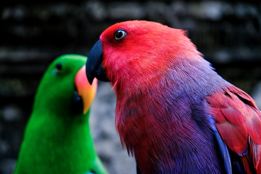 Red parrot and green parrot at the Bali Zoo