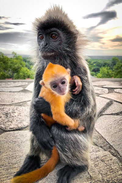Bukit Melawati Monkeys in Kuala Selangor