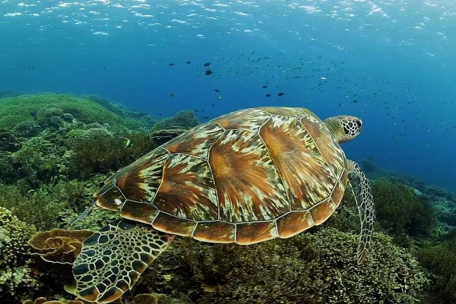 Turtle Snorkeling Sebayur