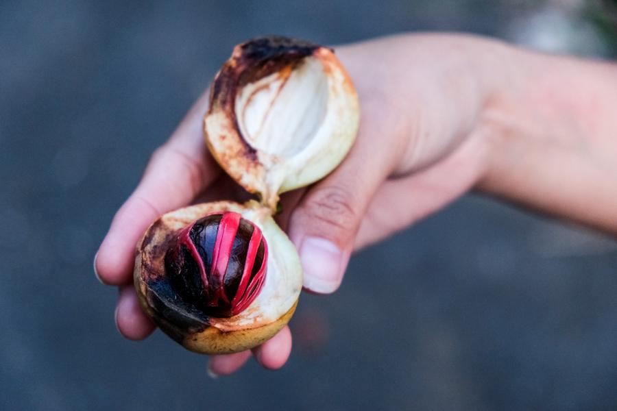 Nutmeg Spice Mace Sulawesi Indonesia