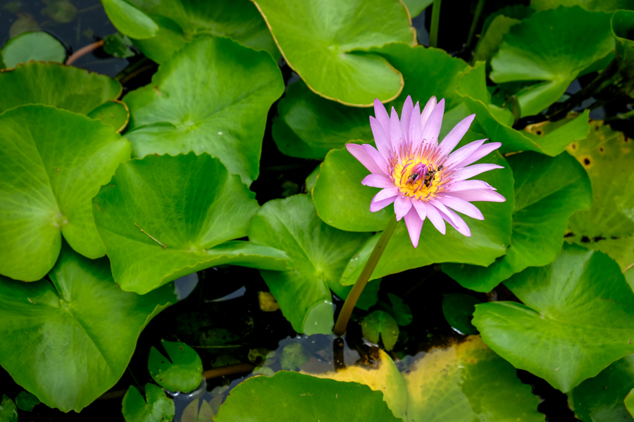 Purple Flower Thailand